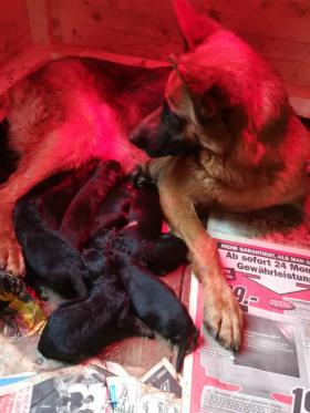 Jule whelps 9 pups